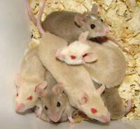 PETS and FEEDER RODENTS