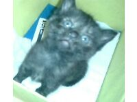 9 Cute and loving kittens for sale child friendly 7-8weeks old 5 boys 4 girls
