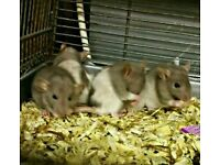 Baby Male Rats For Sale ( Not Mice )