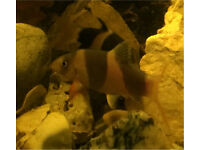 2 Clown loaches - adults. 3-4 inches