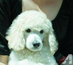 WHITE STANDARD POODLE PUPPY  FEMALE Cooroy Noosa Area Preview