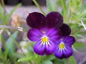johnny jump-up (viola tricolor) 675 SEEDS! GroCo