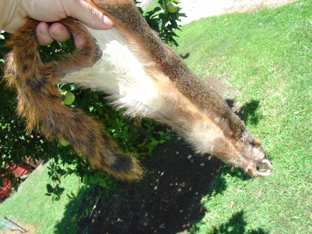 One Squirrel Pelt Dressed Rodent Skin Hide Nice Fur. This Auction For 1 Pelt...
