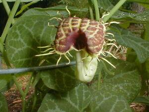 DUTCHMANS-PIPE-VINE-Aristolochia-fimbriata-15-Fresh-Seeds