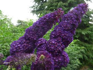 1 Buddleia davidii 'Black Knight' 1-2ft tall in 2L pot Buddleja Butterfly Bush