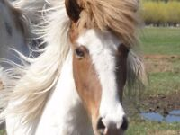 Icelandic Horses for Sale