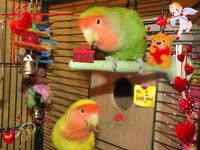 ♥☆♥☆DOWNSIZING/SELLING RARE BREEDING PAIRS OF LOVEBIRDS♥☆♥☆
