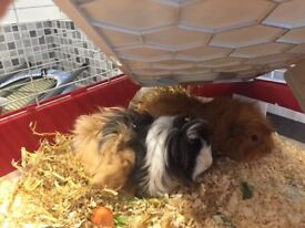 Guinea pigs and large outdoor hutch with winter cover for sale.