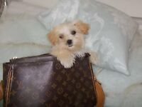 Maltipoo puppy..last girl, fully vaccinated, ready now!