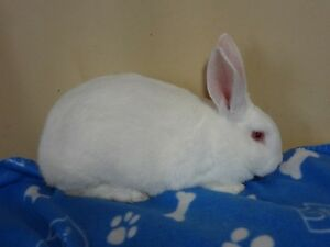 2 Purebreed New Zealand White Male Bunnies For Sale