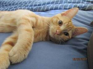 Pumpkin - LIttle Paws Kitten Rescue Association Yeronga Brisbane South West Preview