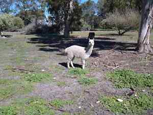 Alpaca herd guard for sale Ambergate Busselton Area Preview