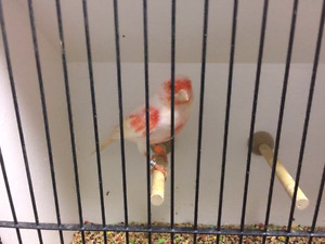 Lots of Red mosaic Canary's! ! !