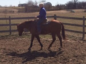 AQHA Gelding for lease or sale