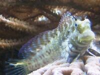 MARINE FISH / THIS IS A NICE SIZE ALGAE BLENNY GREAT TANK CLEANER