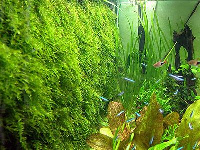 Xmas Moss - Live Aquarium Plant Java Fish Tank Fern Aquatic Seed Garden Pond A2