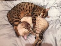 2 Male Bengal Cats for sale