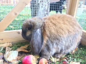 Mini lop with cage for sale