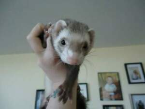 5 yr old female ferret, cage and supplies