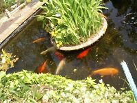 Pond fish free to a good home
