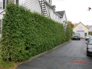 WHITE CEDAR TREES/PRIVACY HEDGE - FALL IS A GREAT TIME TO PLANT! London Ontario image 3