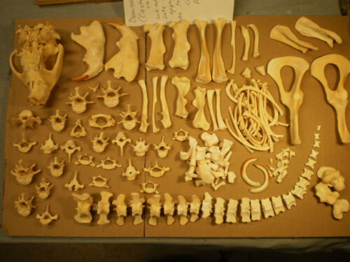 Taxidermy skeleton Beaver (Castor canadensis) dissarticulated sorted