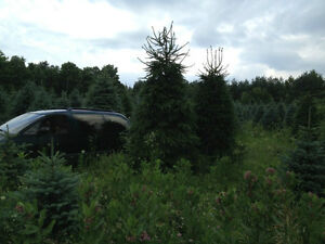Norway Spruce Trees 14-18' Tall Tree's Very Full, Installed.