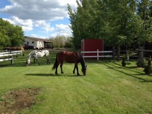 Beautiful & sweet Standardbred x Haflinger mare
