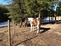 Beautiful 3yr bay and white paint gelding!
