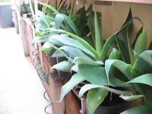 large aloe vera plants for sale in sydney region nsw gumtree australia free local classifieds. Black Bedroom Furniture Sets. Home Design Ideas