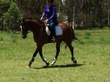 Quiet Bay Gelding Bringelly Camden Area Preview