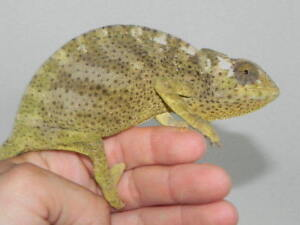 Graceful Chameleon (C. Gracilis)