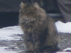 THIS CAT IS  AROUND SINCE MID-FEBRUARY in Fort Erie