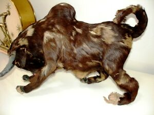 BULL Glass Eyes REAL Fur Leather Gauze Mache WEIRD fun & WHIP Cambridge Kitchener Area image 3