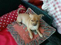 1 APRICOT CHOC FEMALE. FULL VACCS/MICROCHIP.4 wks insurance AGED 4 MNTHS