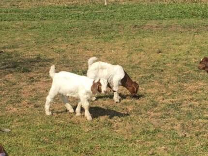 Baby borer goats