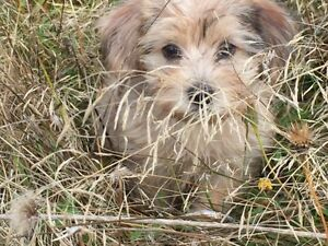 Gorgeous Teddy Bear Morkie Mix Puppies