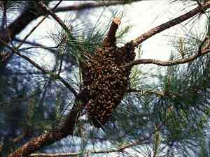 Bee swarms removed Manilla Tamworth Surrounds Preview