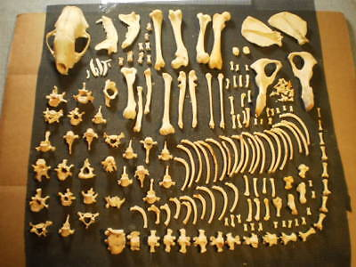 Taxidermy skeleton real striped skunk dissarticulated clean sorted skull  nice - Skunk Skeleton