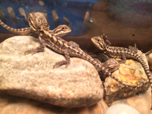 Baby bearded dragons for sale or trade