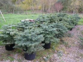 Potted Christmas Trees - Noble Fir, 2.5-3 feet high.
