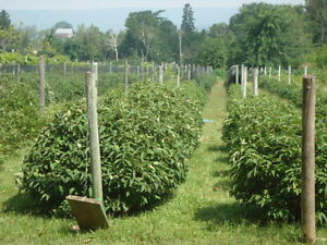 Wanted - pickers for organic farm (haskap, blackcurrant, other)