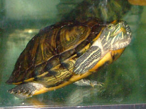 large size female turtle for sale