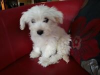 Beautiful Cavachon Puppy for sale from Pedigree King Charles Mother and Bichon Frise father puppies