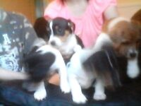 puppies for sale jack russels