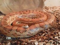 4 ft+ corn Snake and viv for sale