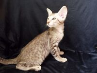 ORIENTAL SHORTHAIR MALE KITTEN, SILVER SPOTTED TABBY COLOR FOR SALE