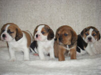 Puggle | Dogs & Puppies for Sale - Gumtree