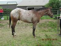 Registered 2 year old Appaloosa Stallion