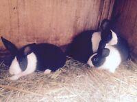 baby bunny rabbits 9 weeks old Dutch
